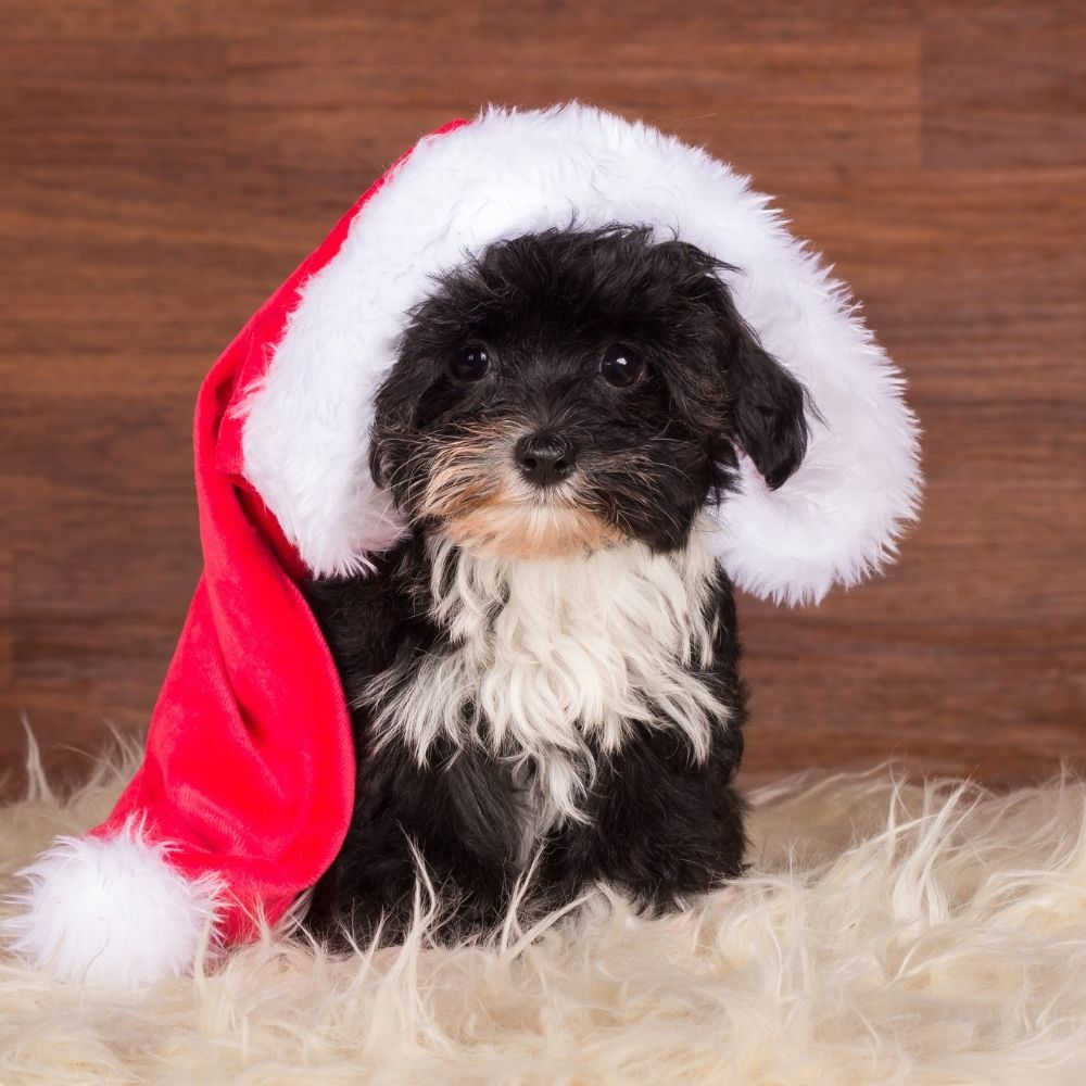 hund Weihnachten Advent gefahr